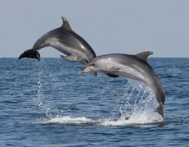 Dolphins from the Gulf of Trieste. Photo: Tilen Genov/Morigenos