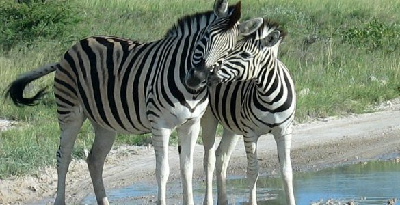 Why do zebras have stripes? Credit: Wikimedia