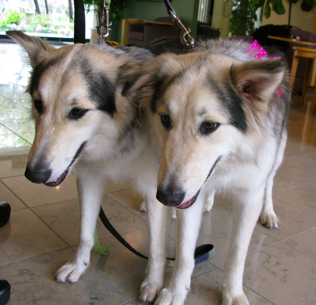 Cloned dogs. Source: Flickr